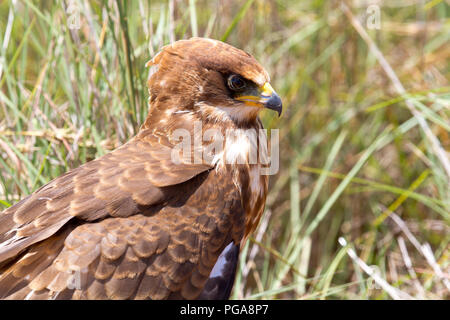 African marsh harrier (Circus ranivorus), young bird, animal portrait, Pilanesberg National Park, Pilanesberg Game Reserve - Stock Photo