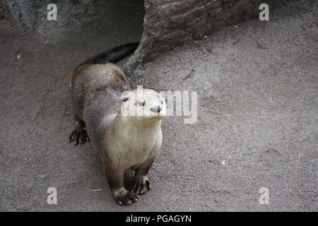 Otters in the Wildlife Encounters at Ober Gatlinburg, Gatlinburg Tennessee. - Stock Photo