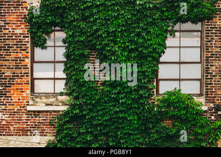 Green ivy growing between the windows of an old brick building in the city. - Stock Photo