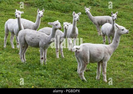 Herd of Alpacas in a pasture, Hornindal, Sogn og Fjordane, Norway. - Stock Photo