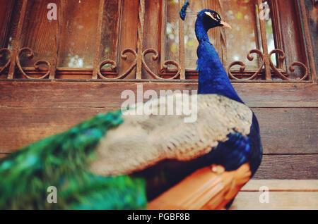 Closeup portrait of a peacock/peafowl - Stock Photo