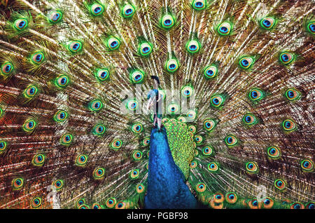Closeup portrait of a peacock/peafowl - Stock Photo