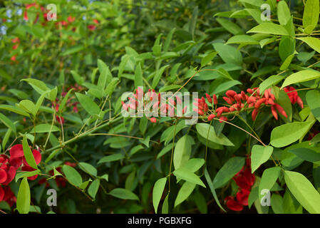 Erythrina crista-galli red flowers - Stock Photo
