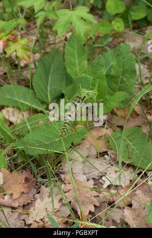 Salvia pratensis - Stock Photo