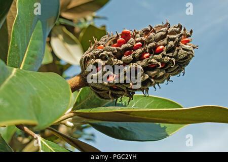 ripe fruit of magnolia grandiflora with its seeds - Stock Photo