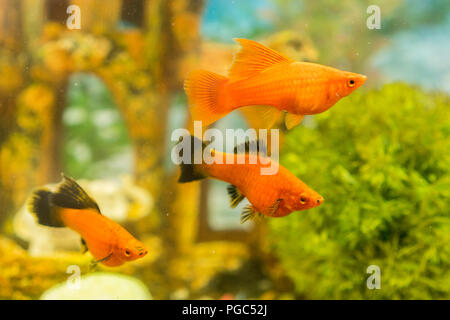 Tropical colorful fishes swimming in aquarium with plants. fish in freshwater aquarium with green beautiful planted tropical - Stock Photo
