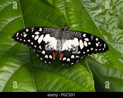 A Lime butterfly, Papilio Demoleus malayanus on a leaf in the butterfly house at Whipsnade Zoo, England - Stock Photo