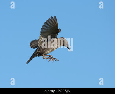 Young Starling, Sturnus vulgaris, in flight, Lancashire, UK - Stock Photo