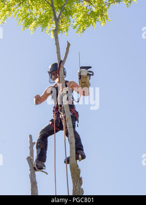 Female tree surgeon balances on top of a tree with a chainsaw. - Stock Photo