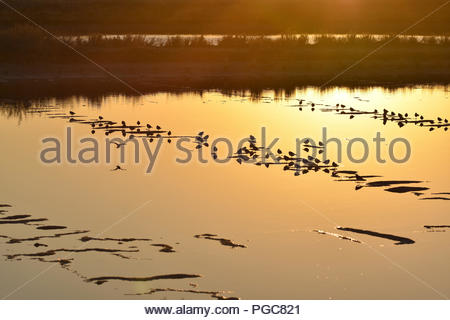 Waterbirds resting in saline lake at dusk. Ria Formosa Nature Reserve Faro Algarve Southern Portugal. - Stock Photo