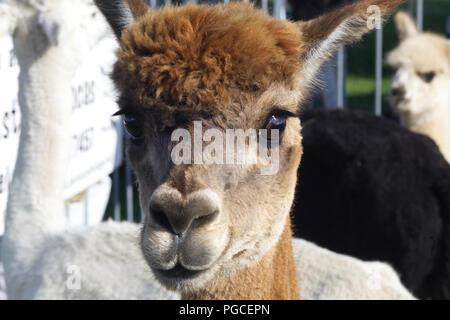 Alpacas in a pen - Stock Photo