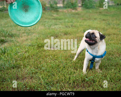 little cute pug dog playing with owner on grass at the park with frisbee. owner hand holding frisbee - Stock Photo