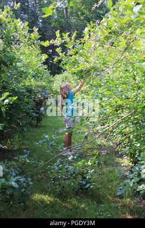 #summerfun Ten year old blond girl having summer fun blueberry picking at the Blueberry Patch in Sawyer, Michigan, USA on a hot summer day. - Stock Photo