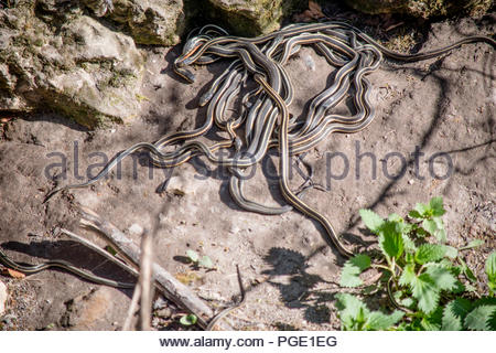 Many snakes are mating in these snake dens. - Stock Photo