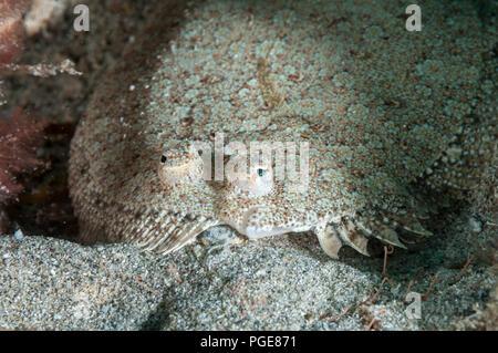 wide-eyed flounder, Bothus podas, La Graciosa, Canary Islands, Spain - Stock Photo