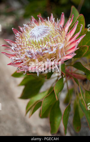 Protea cynaroides, national flower of South Africa - Stock Photo