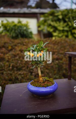 Orange Tree Bonsai -Tokyo, Japan - Stock Photo