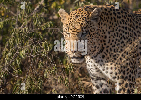 Head and shoulders close-up of a Leopard hunting in its natural habitat. - Stock Photo