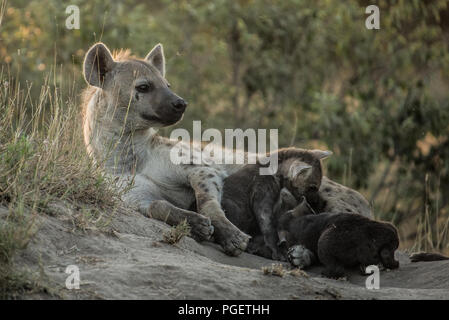 Spotted Hyena mother lying on ground with babies nursing beside her. - Stock Photo
