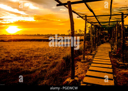 Golden sunset with a golden harvested rice field. Cambodian board walk in a field during sunset with a canopy over the walk way. - Stock Photo