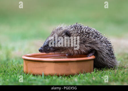 Hedgehog, wild, native, juvenile hedgehog facing left and drinking water from a terracotta bowl.  Scientific name: Erinaceus europaeus. Horizontal - Stock Photo