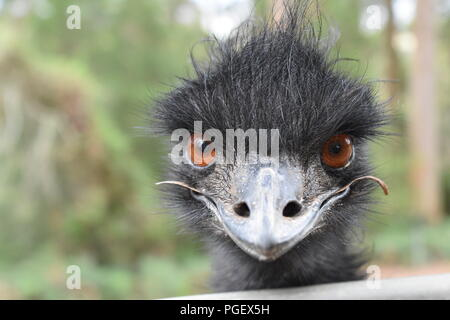 Close up of an emu, in Western Australia - Stock Photo