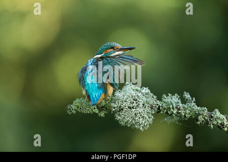 Kingfisher (Alcedo atthis) preening on a branch - Stock Photo