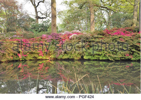 Isabella Plantation - ornamental woodland garden with blooming azaleas in spring. Richmond Park Surrey England UK. - Stock Photo