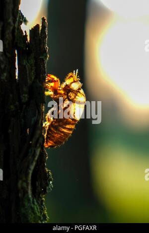The early morning light shines through the shell or exuviae of a Dog-day cicada that is stuck to the bark of a loblolly pine tree in Raleigh North Car - Stock Photo