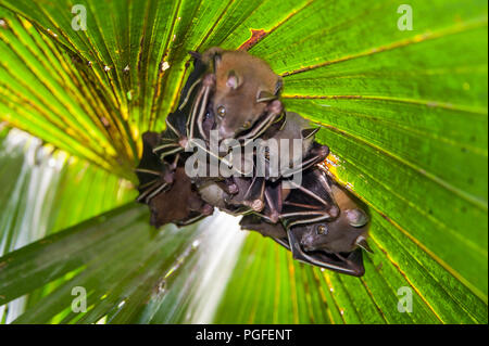 Lesser Dog-faced Fruit Bat (Cyneropterus brachyotis). Also called Short-nosed or Common Fruit Bat - a family hides under a green leafy palm tree - Stock Photo