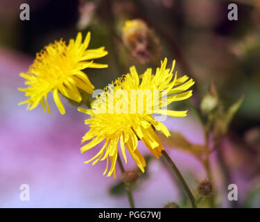 Two bright yellow dandelion flowers - Stock Photo