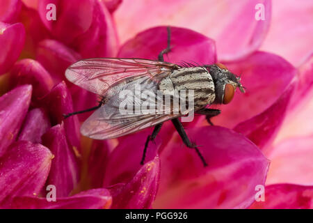 Single fly incredible close up sat on a beautiful deep pink flower head in a summers morning - Stock Photo