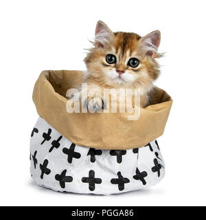 Super sweet golden British Longhair cat kitten with big green eyes, sitting in a brown paper bag looking adorable over the edge with paw on the edge - Stock Photo