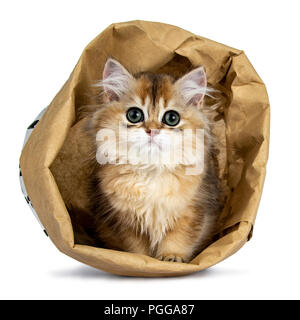 Super sweet golden British Longhair cat kitten with big green eyes, sitting in a brown paper bag looking adorable straight to camera isolated on white - Stock Photo