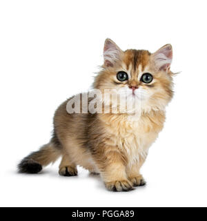 Super sweet golden British Longhair cat kitten with big green eyes, standing a bit side ways, looking beside the camera isolated on white background - Stock Photo