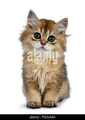 Super sweet golden British Longhair cat kitten with big green eyes, sitting straight up, looking adorable to camera isolated on white background - Stock Photo