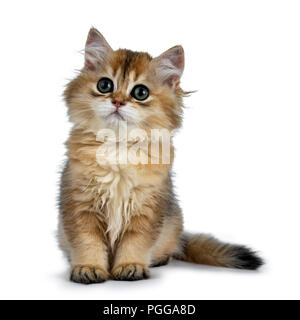 Super sweet golden British Longhair cat kitten with big green eyes, sitting straight up, looking beside the camera isolated on white background - Stock Photo