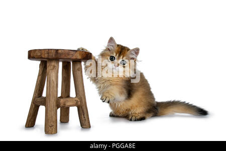 Super sweet golden British Longhair cat kitten with big green eyes, hanging with one paw on a little looking adorable straight to camera isolated on w - Stock Photo
