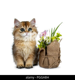 Super sweet golden British Longhair cat kitten with big green eyes, sitting beside a fake flower pot looking innocent to camera isolated on white back - Stock Photo