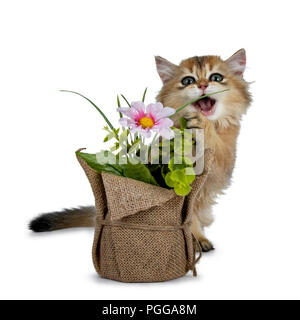 Super sweet golden British Longhair cat kitten with big green eyes, sitting behind a fake flower pot looking adorable to camera isolated on white back - Stock Photo