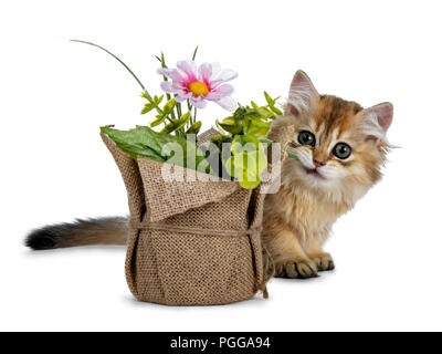 Super sweet golden British Longhair cat kitten with big green eyes, hiding behind a fake flower pot looking adorable to camera isolated on white back - Stock Photo