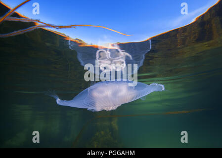 Moon jellyfish, Common jellyfish, Moon jelly, or Saucer jelly (Aurelia aurita) is reflected off the water surface - Stock Photo