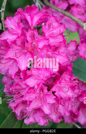 Close up of Rhododendron Cynthia flowering in May - Stock Photo