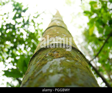 Looking upwards a moss overgrown green bamboo tree trunk in Taiwan - Stock Photo
