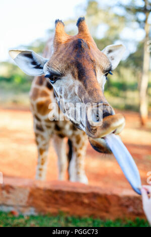 Feeding a young endangered Rothschild Giraffe in Africa - Stock Photo