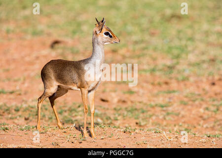 Dik dik antelope in Samburu national park in Kenya - Stock Photo