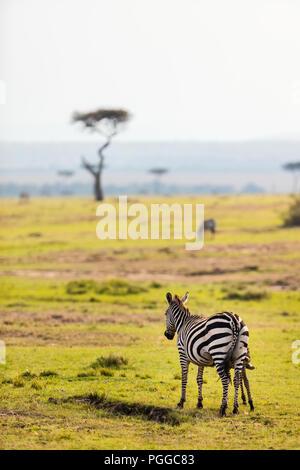 Zebras in safari park in Kenya - Stock Photo