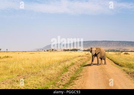 Elephant in safari park in Kenya Africa - Stock Photo