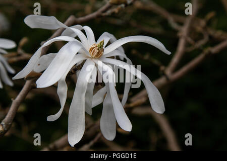 White Royal Star Magnolia stellata 'Royal Star' Flower. - Stock Photo