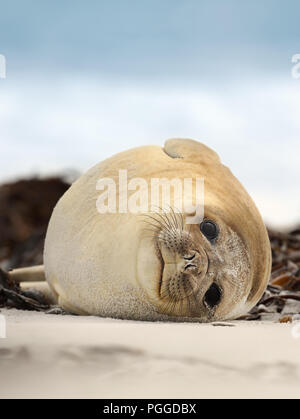 Close up of a Southern Elephant seal lying on a sandy beach on a coastal area of Atlantic ocean, Falkland islands. - Stock Photo